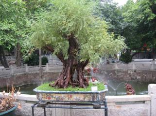Bonzai at Qinghui Gardens